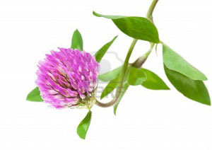 5757797-trifolium-pratense-trifoglio-rosa-fiori-e-foglie-isolate-on-white-background