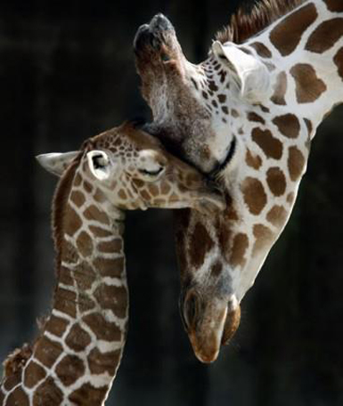 giraffamamma88_n