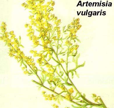 ARTEMISIA1