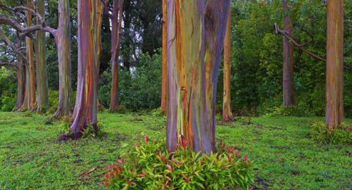 Rainbow_Eucalyptus_tree_30.5x16.5-360-600-450-70