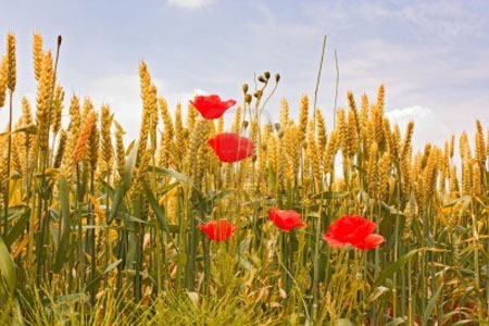 9674740-campo-di-grano-nel-mese-di-giugno--orecchio-gialla-di-mais-e-rosso-papaveri-sotto-un-cielo-blu