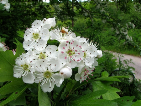 fiori-di-biancospino