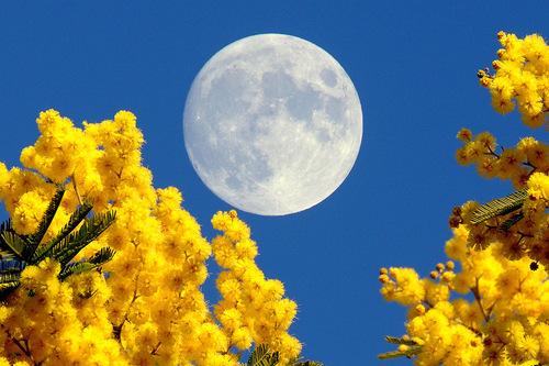 luna-piena-mimose2