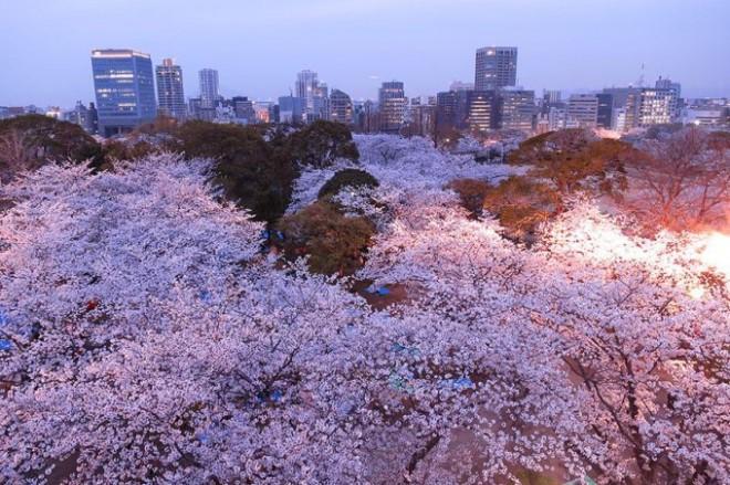 cherry-blossom-sakura-24