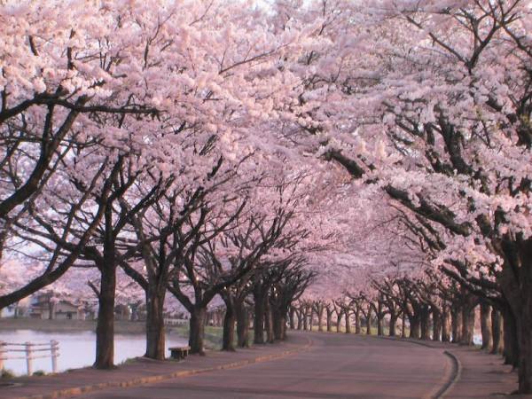 ciliegi-in-fiore-giappone