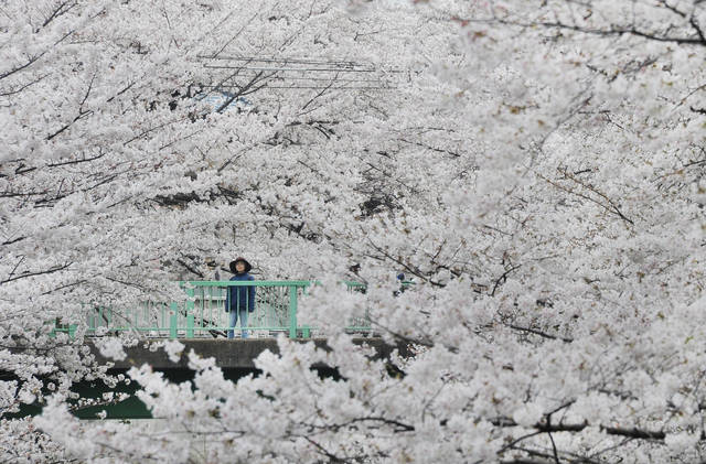 JAPAN-WEATHER-CHERRY BLOSSOM