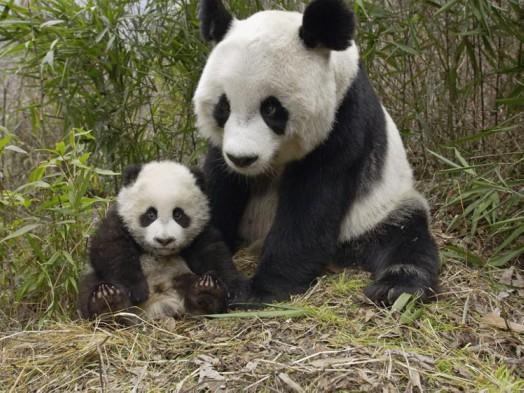 mamma_panda_e_cucciolo