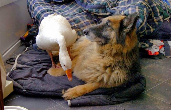 11.29.13-Dangerous-Dog-Goose7-590x381
