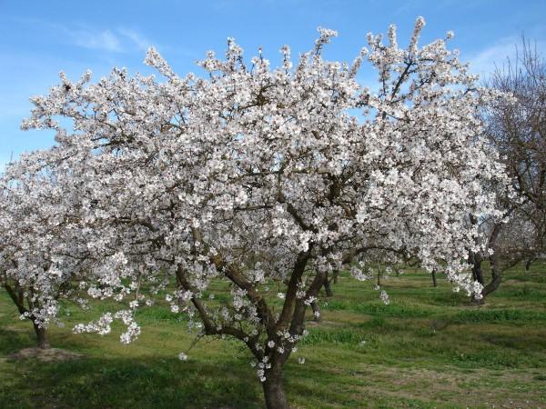 fiore-di-mandorlo_O2