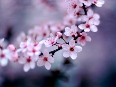 cherry-blossom_1600x12001_thumb1